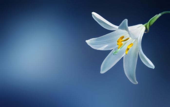 flower-lily-lilium-candidum-madonna-lily